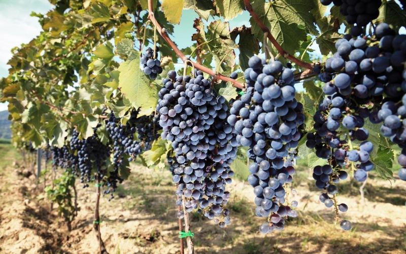 Mejora el consumo de vino a pesar de la caída de la producción en 2016