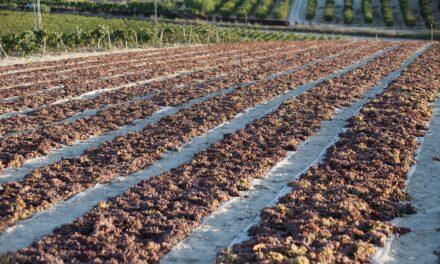 González Byass recupera cultivo y vinificación de la Pedro Ximénez en la D.O. Jerez