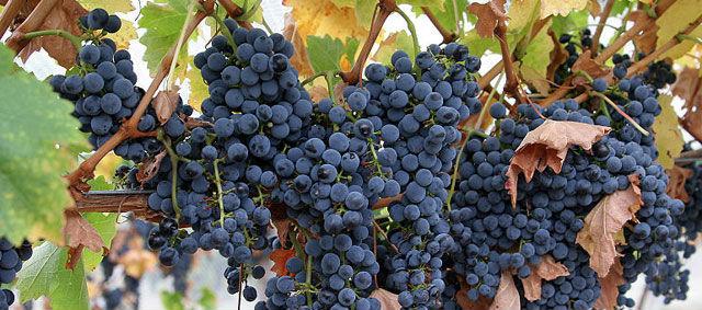 Más de la mitad de las uvas se destinan a elaboración de vino